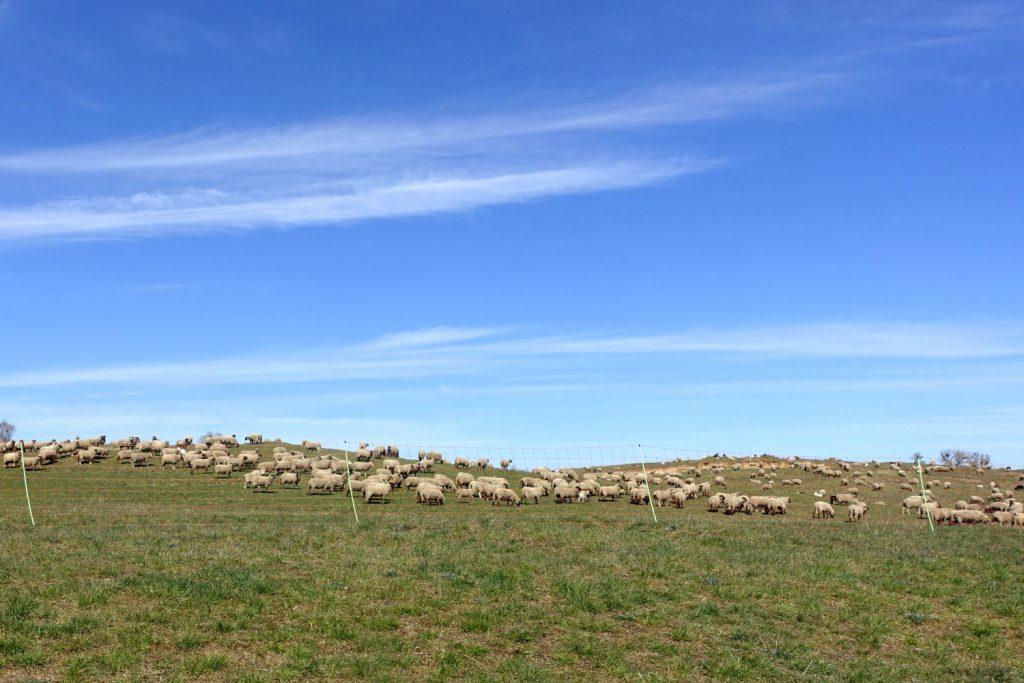 Schafe in der Charlottenhöhe.