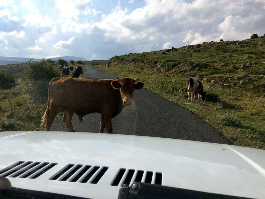 Kuhherde auf dem Weg zum Aragats.
