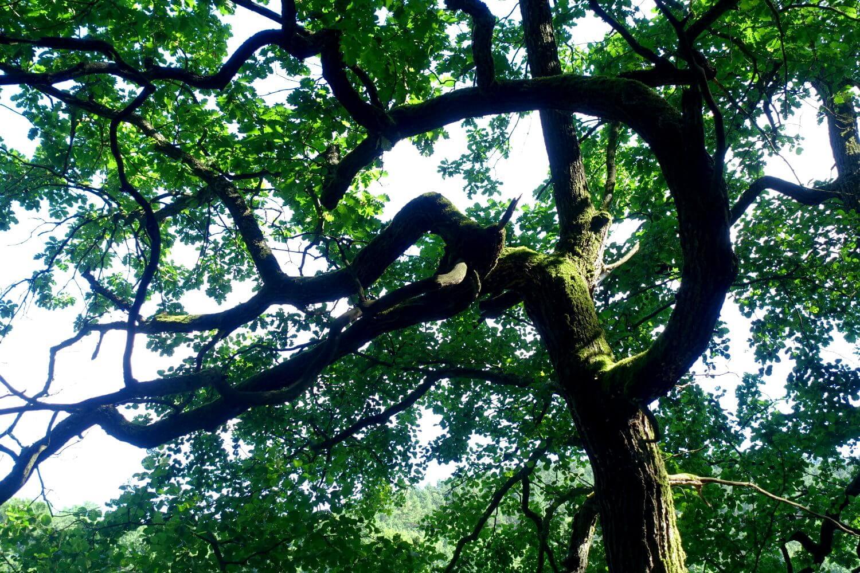 Verkrüppelter Baum im Schlaubetal.