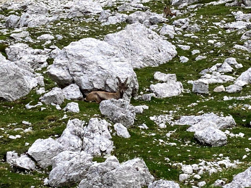 Steinböcke im alpinen Ödland am Fuße des Sedlo Planja.