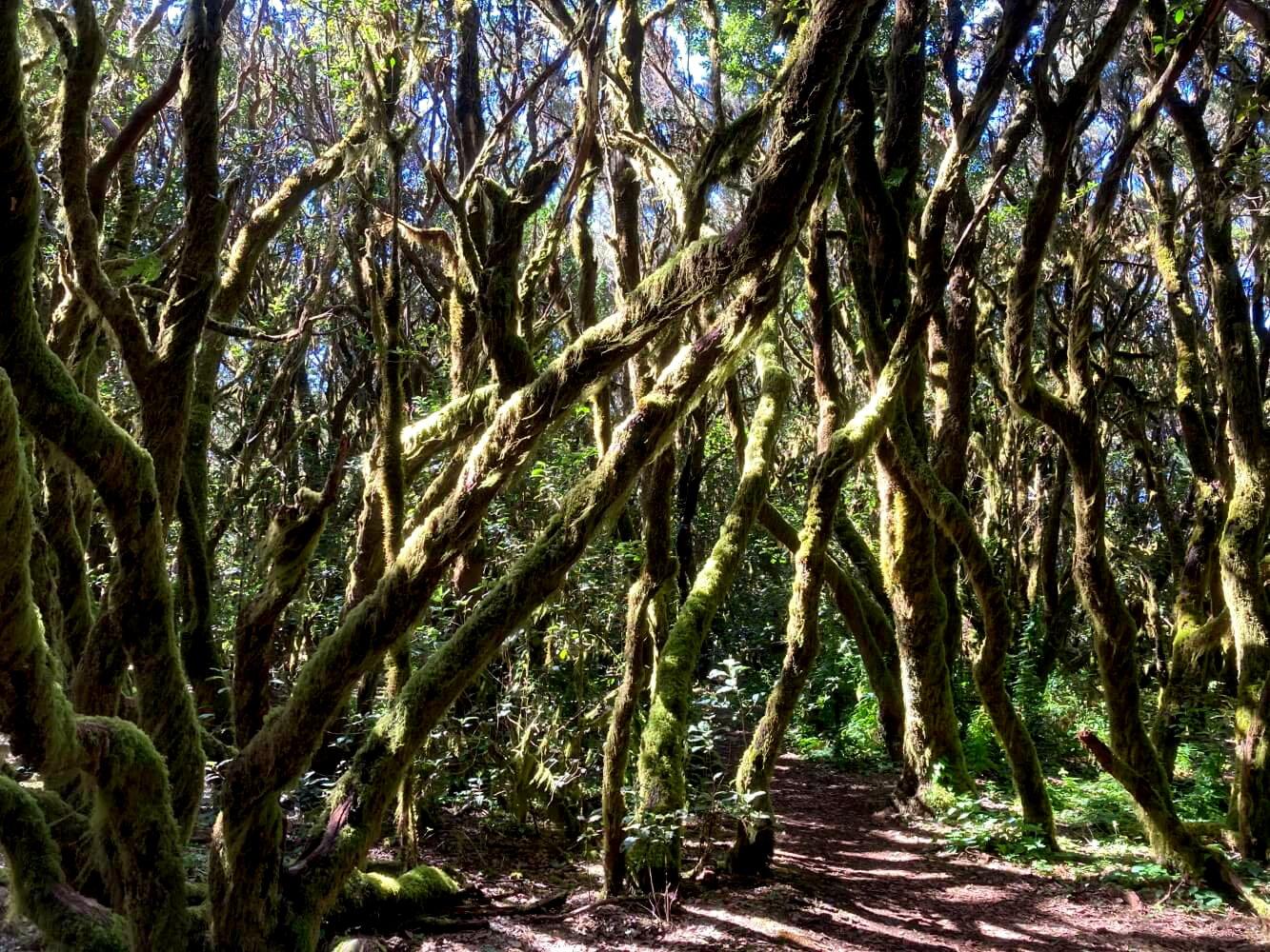Wandern im Garajonay Nationalpark La Gomera.